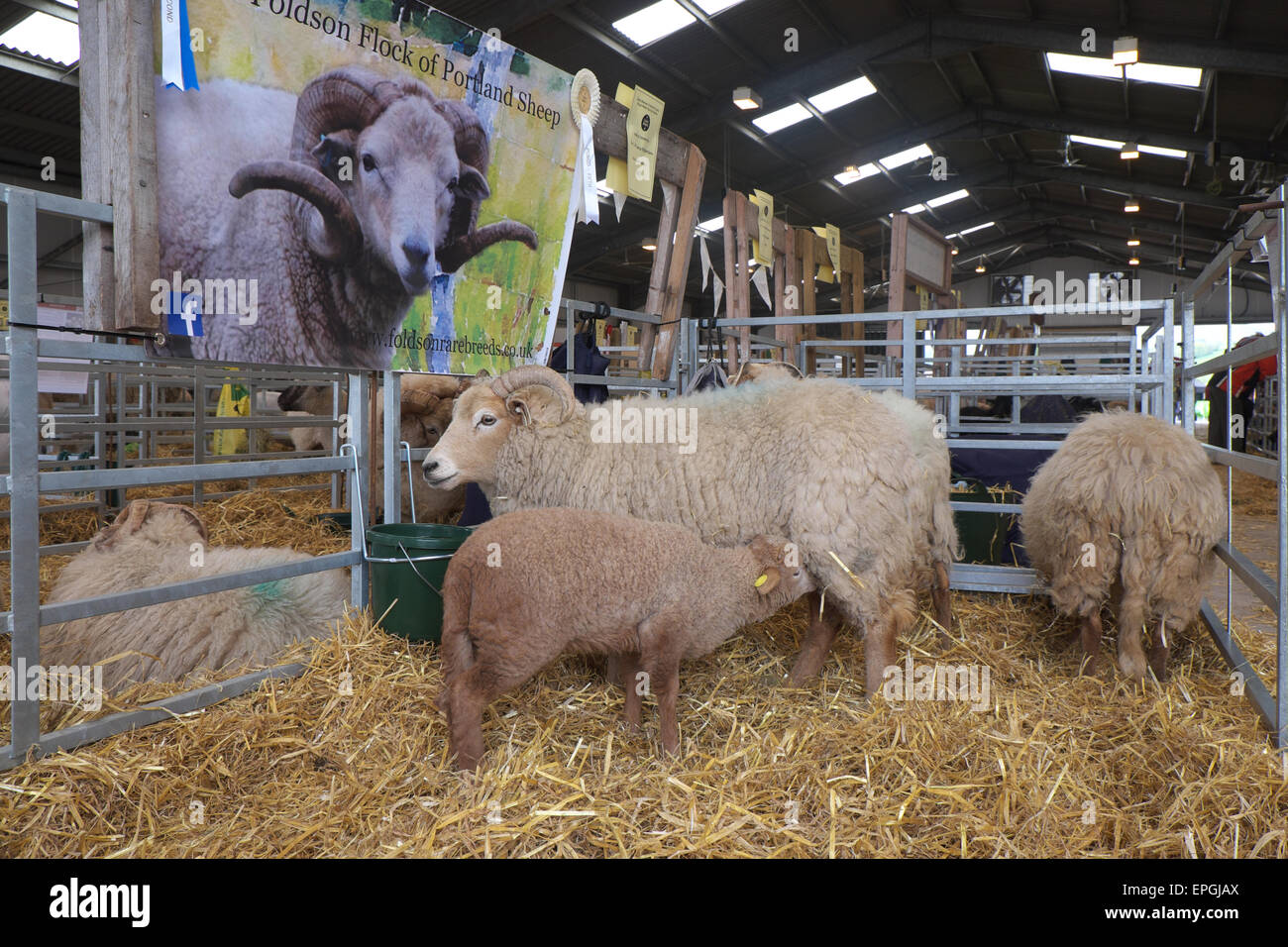 Portland Sheep a rare breed ewe and lamb on display at the Royal Welsh Spring Festival in May 2015 - Stock Image