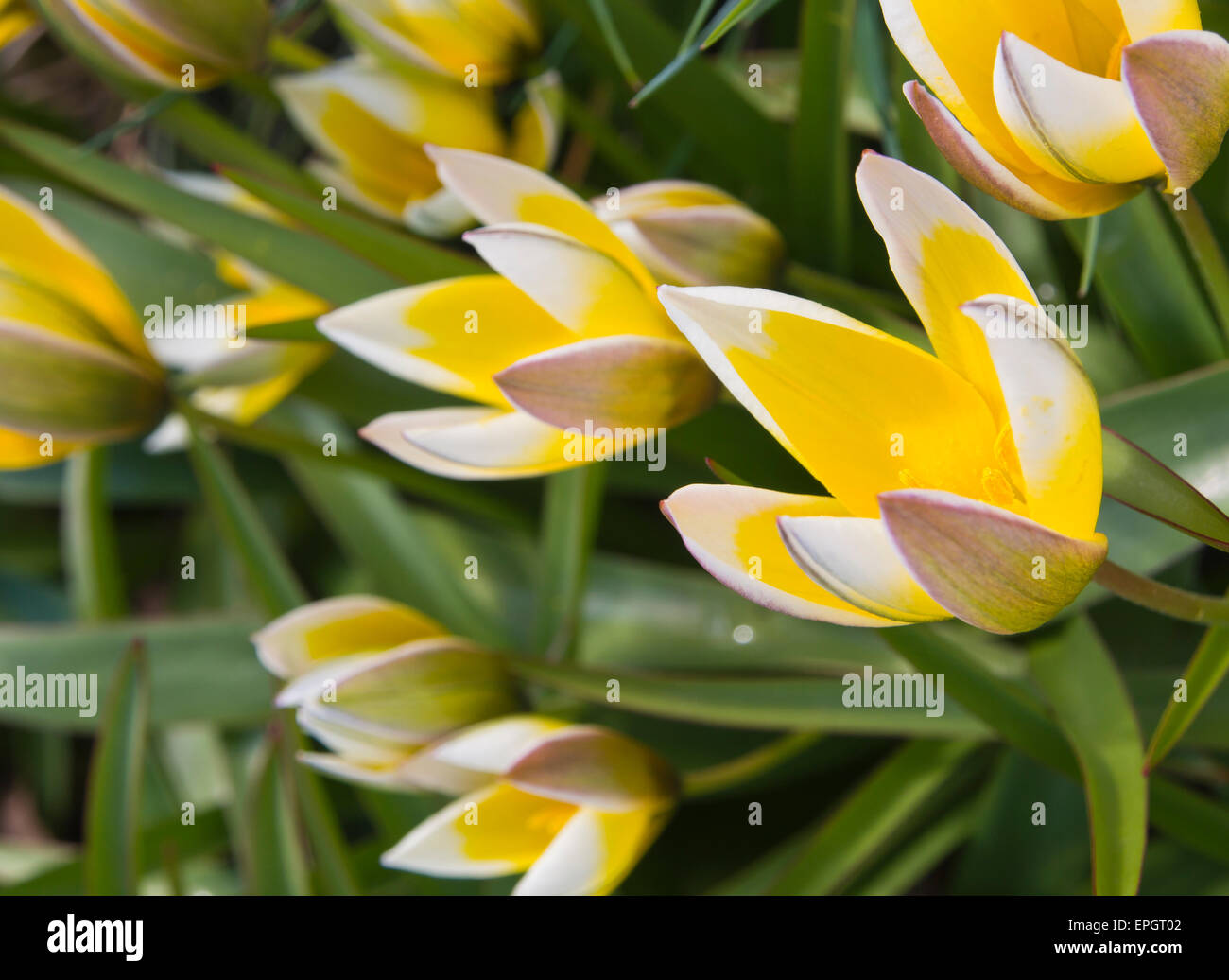 Tulipa tarda or late tulip, yellow and white with pointy petals grows willingly in the university botanical garden, - Stock Image