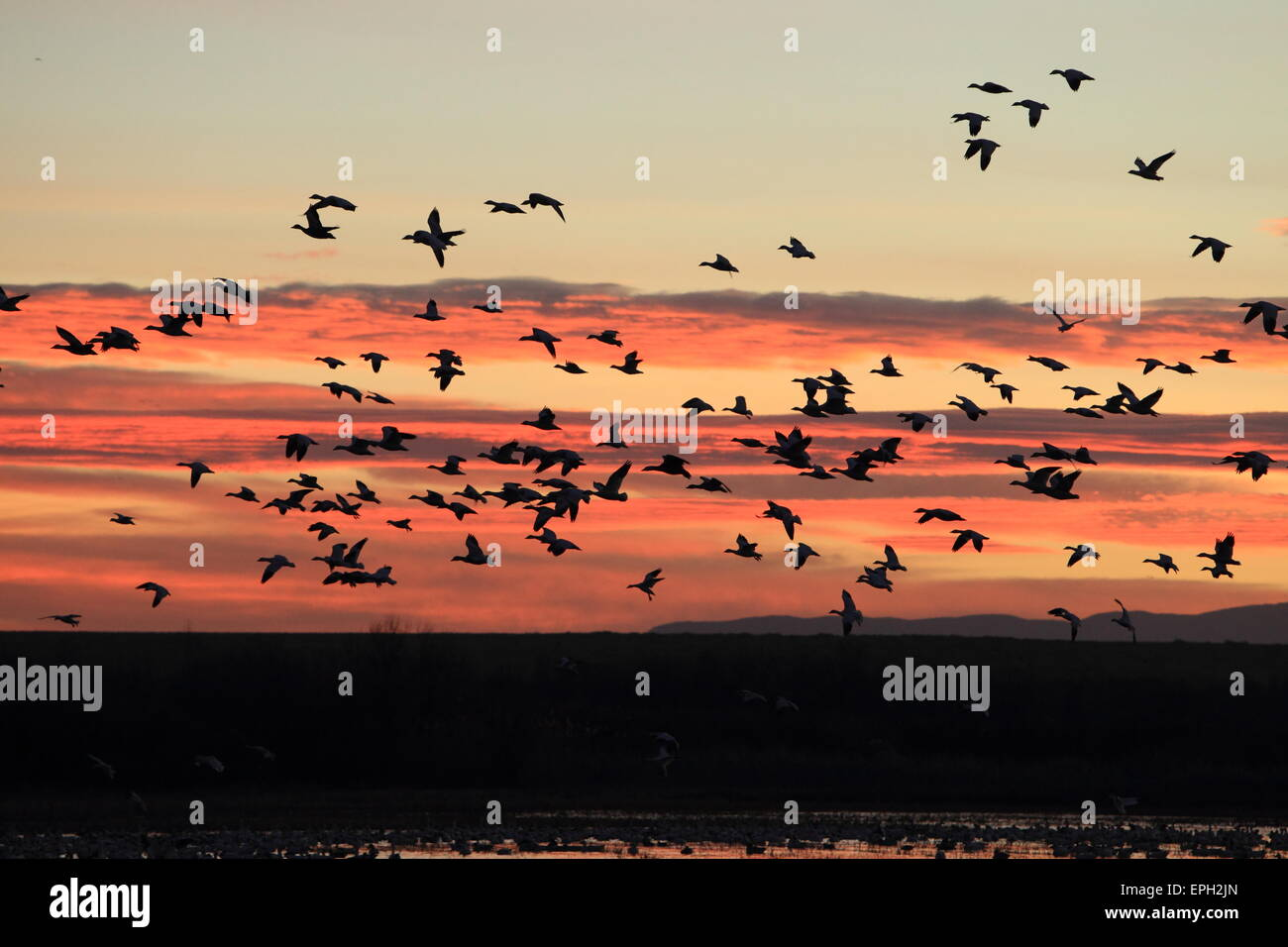 snow geese at sunrise - Stock Image