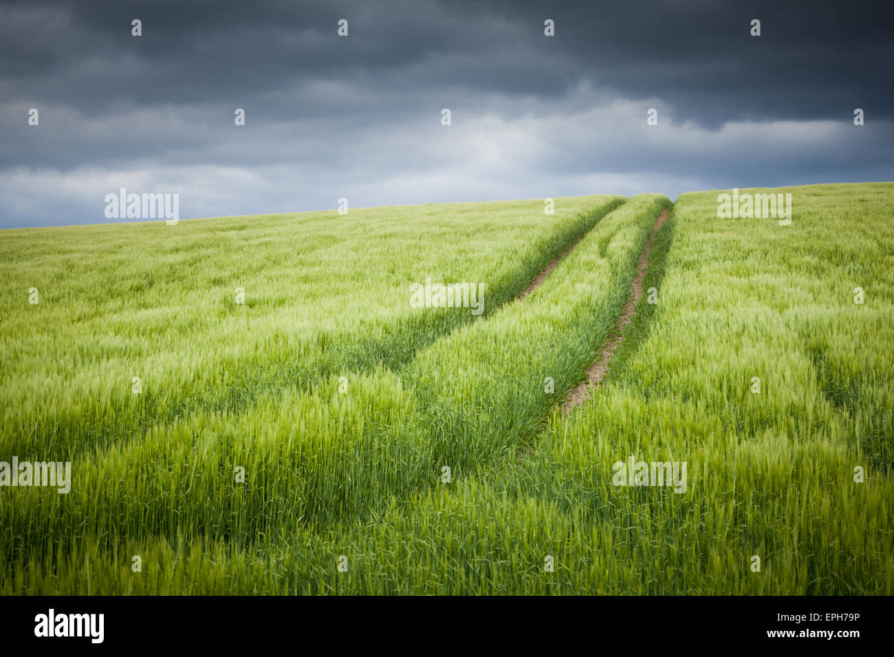 Tractor lines through a young fresh green crop in a farmer's field under a stormy sky in Northumberland, England - Stock Image