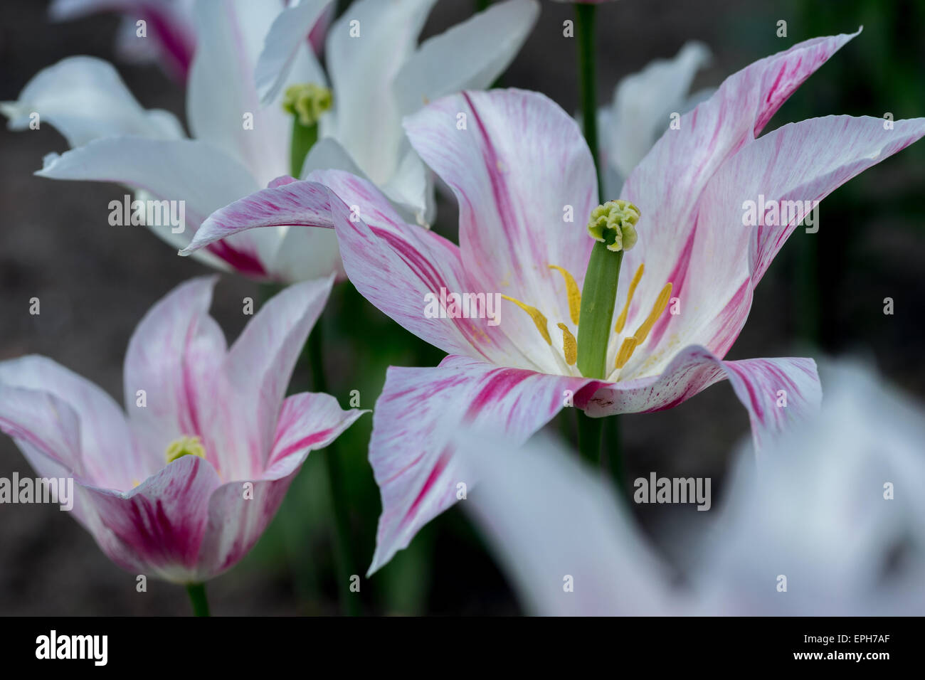 White tulips with red strap on elongated petals - Stock Image