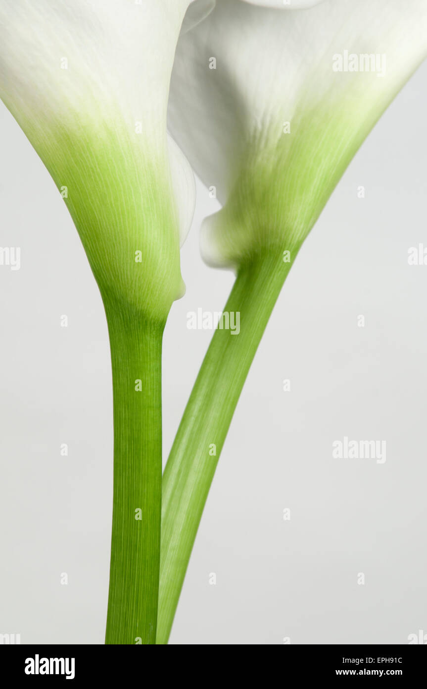 Calla lily flowers on a light background stock photo 82744184 alamy calla lily flowers on a light background izmirmasajfo