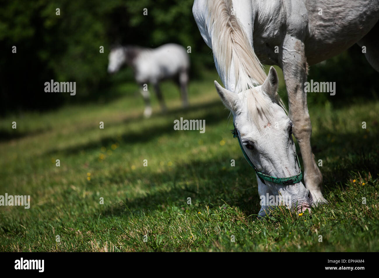 Lippizaner horses are genuine slovenian breed, with a long history, which goes back to the times of Austro-Hungarian Empire and Stock Photo