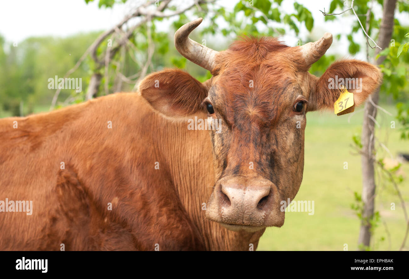 A brown cow with a broken horn. - Stock Image