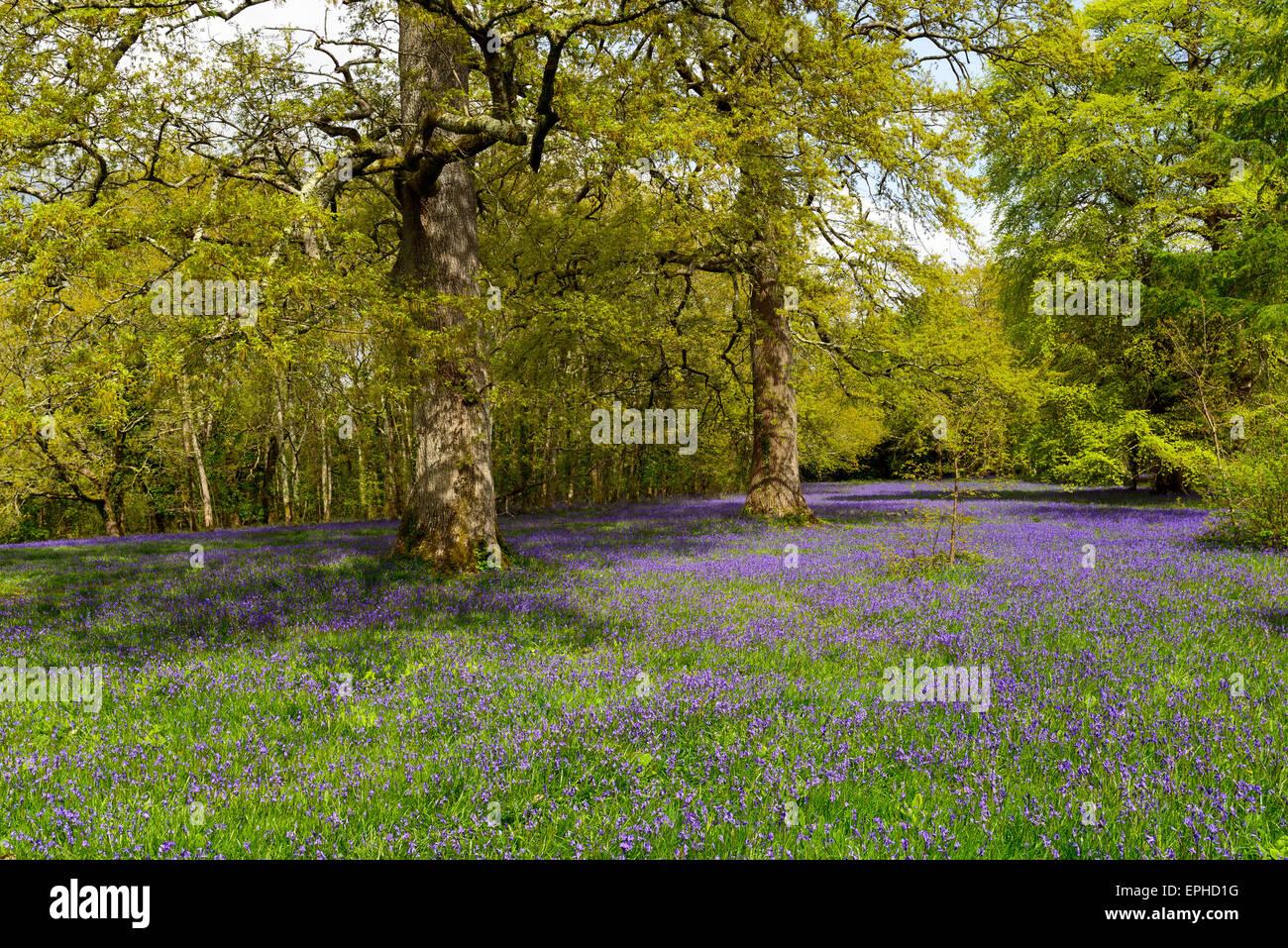 Woodland glade of bluebells - Stock Image