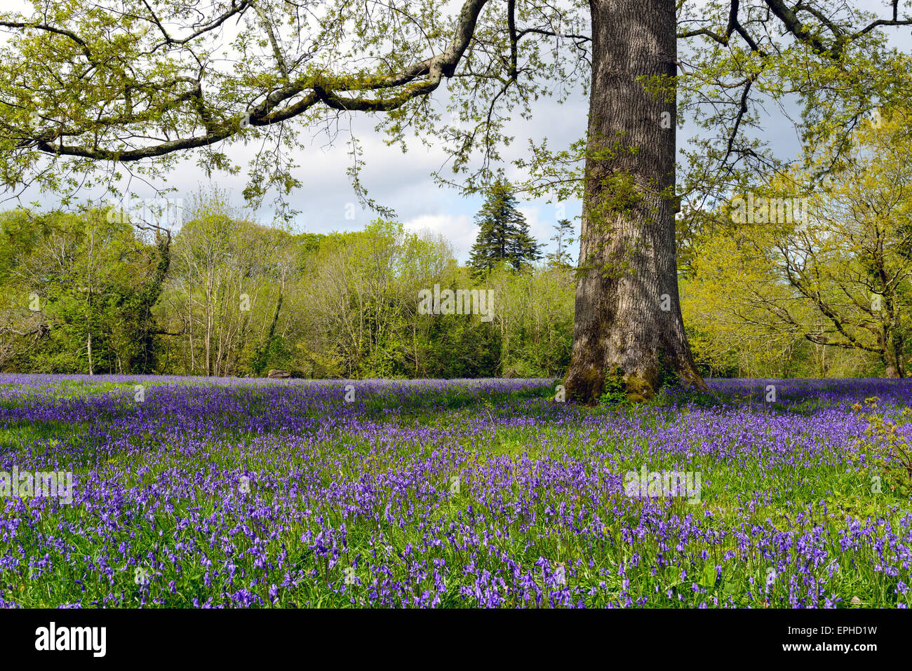 A glade of spring bluebells under an old oak tree in Cornwall - Stock Image