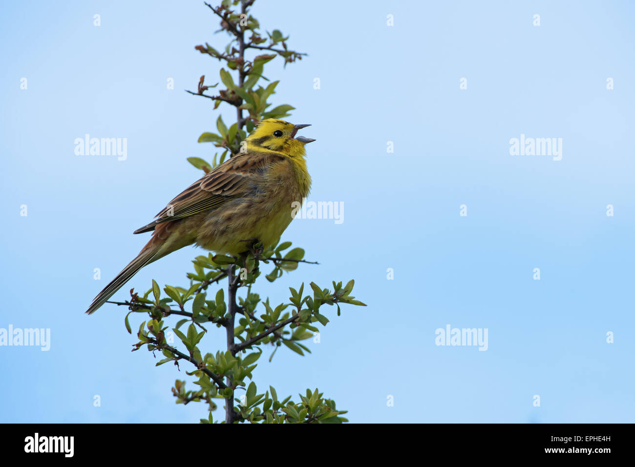 Male Yellowhammer-Emberiza citrinella in song. Spring. Uk - Stock Image