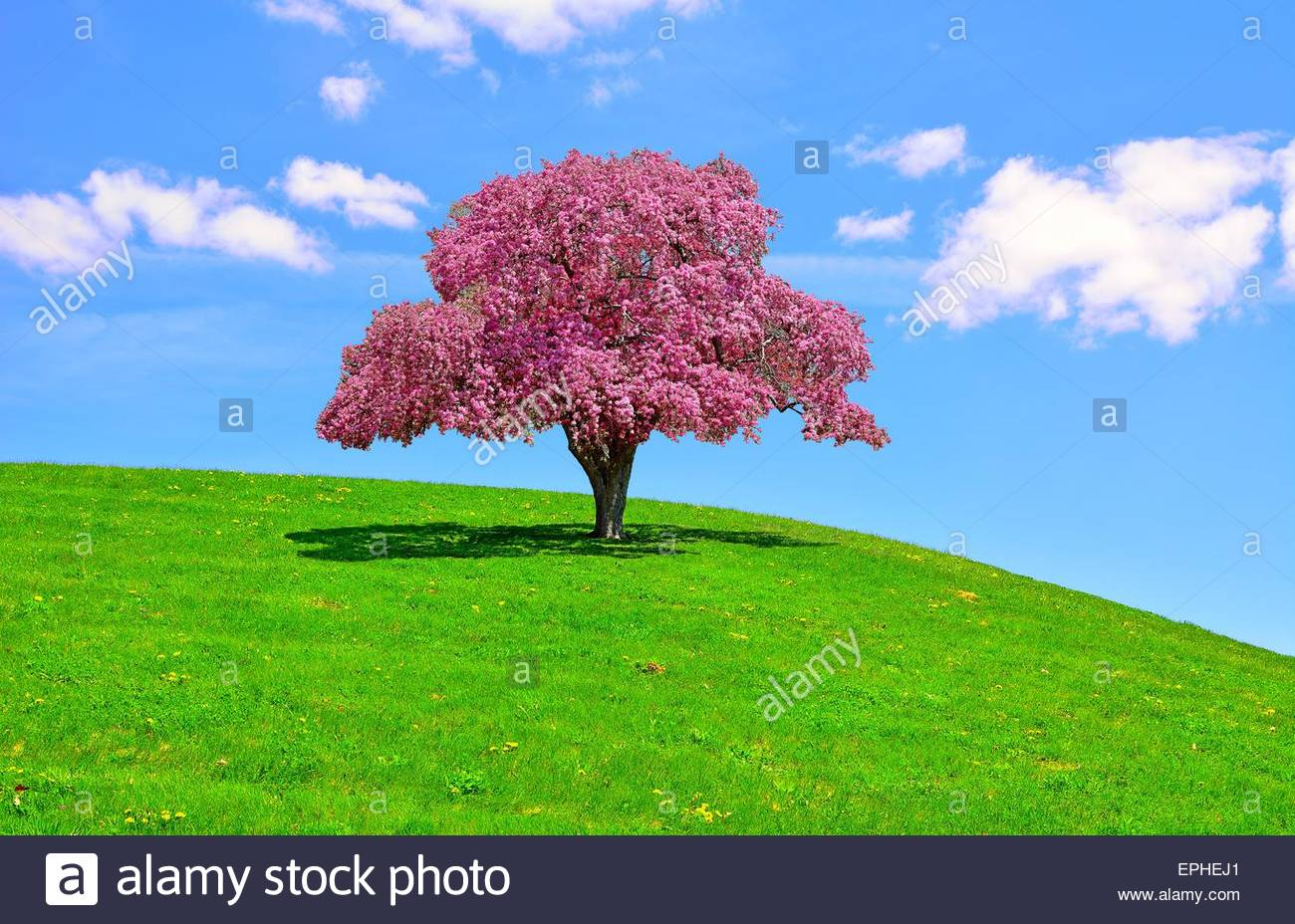 Pink puffy flowering tree stock photos pink puffy flowering tree a beautiful flowering pink crabapple tree on a lush hillside in eastern ohio stock mightylinksfo