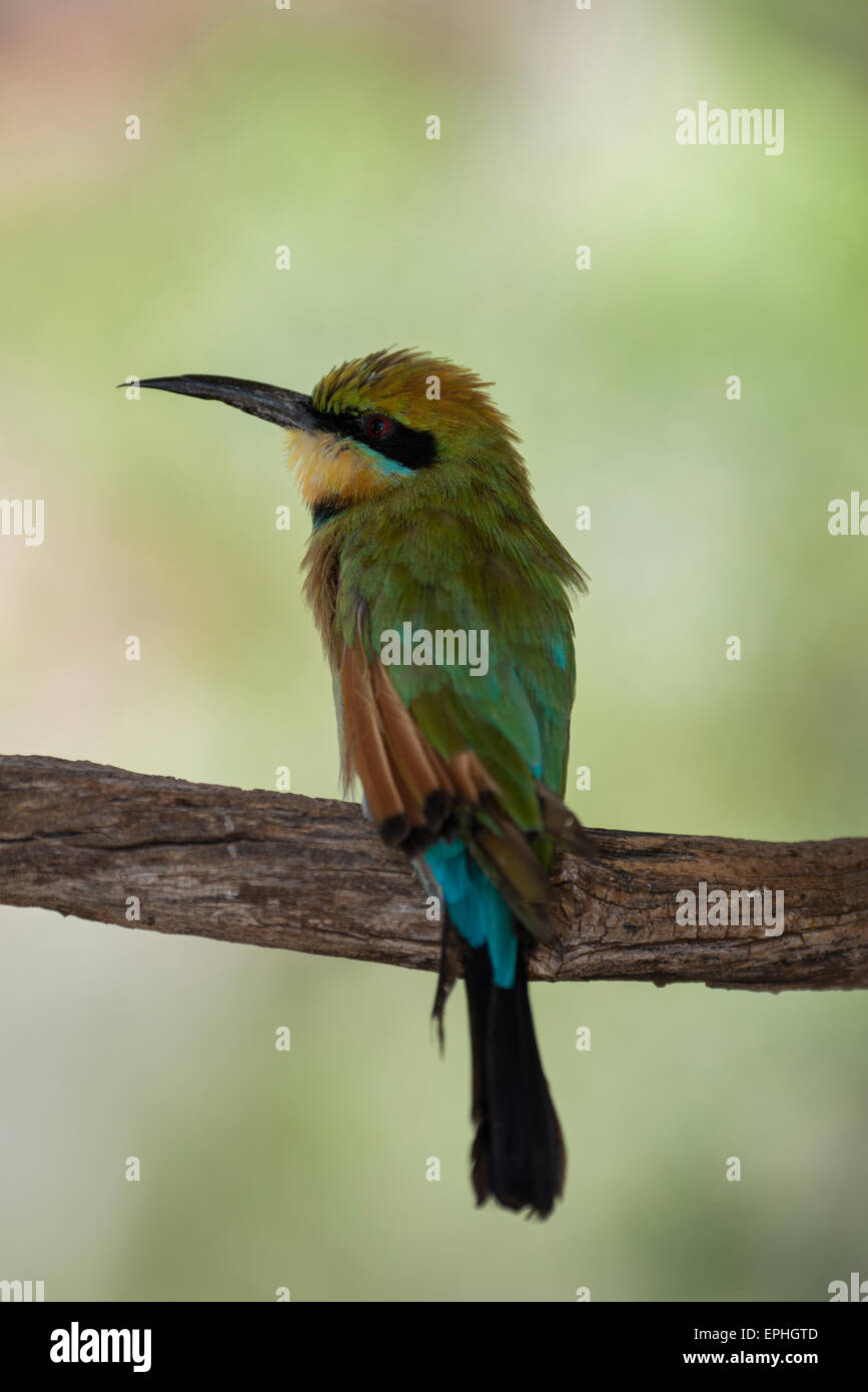 Australia, NT, Alice Springs. Alice Springs Desert Park. Rainbow bee-eater (Captive: Merops ornatus) - Stock Image