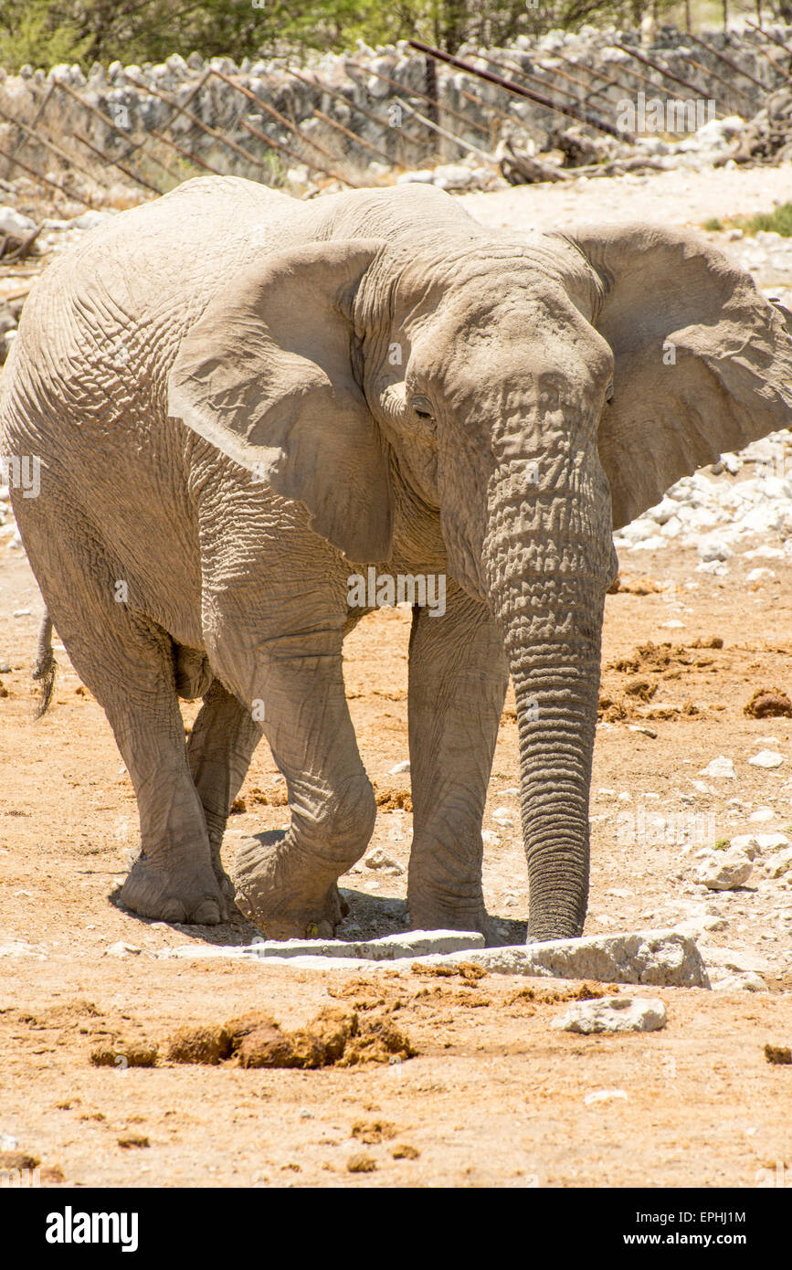 Africa, Namibia. Etosha National Park. Full body image of elephant. - Stock Image
