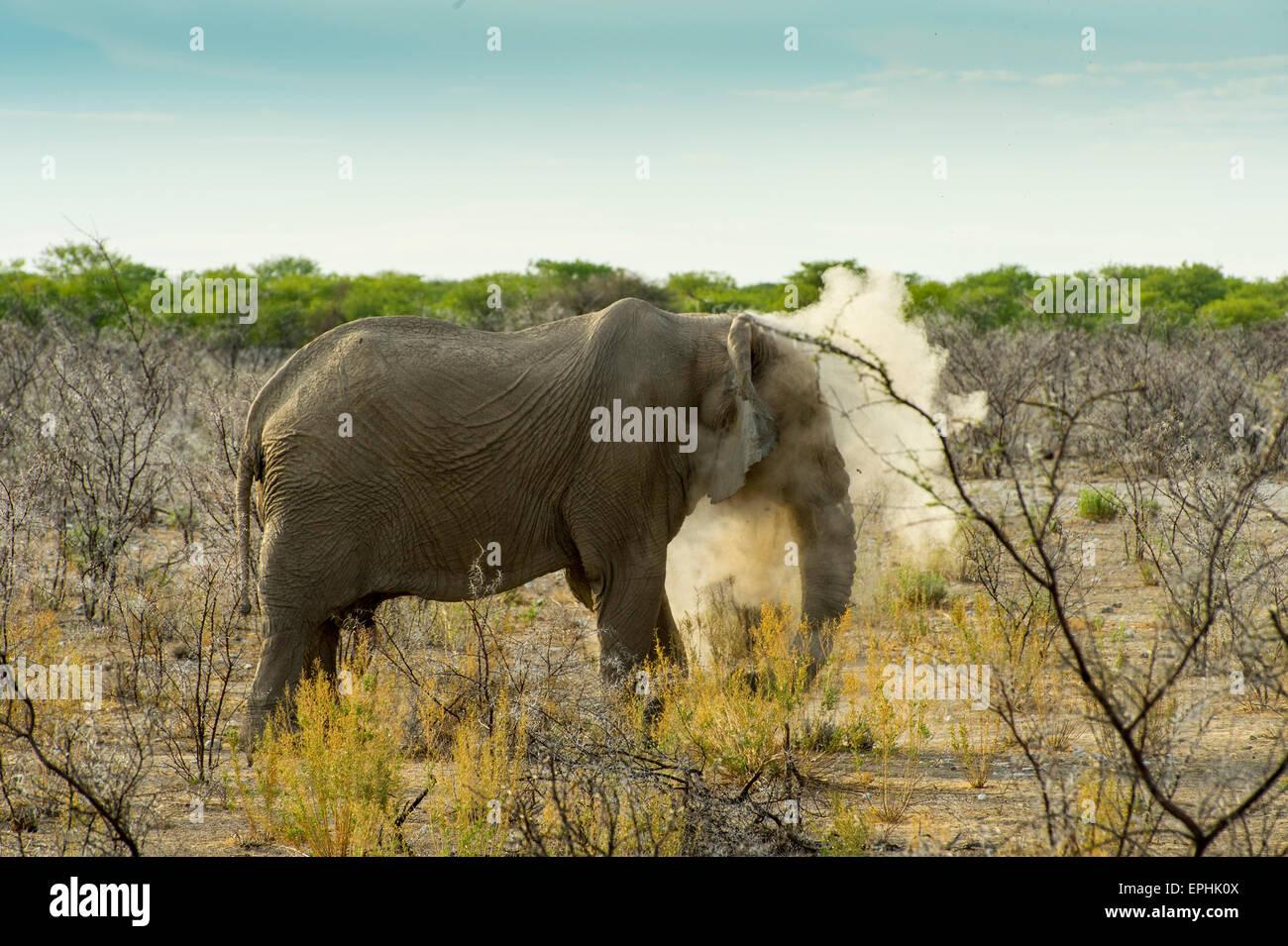 Africa, Namibia. Etosha National Park. Elephant walking through shrubs, kicking up dust. - Stock Image