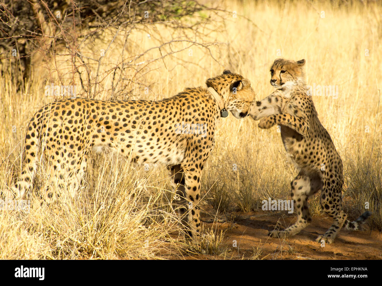 Africa, Namibia. AfriCat Foundation. Young cheetah playing with mother cheetah. - Stock Image