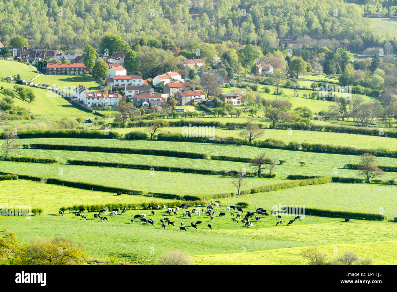 Cattle Grazing in Danby Dale south from Castleton in May 2015 - Stock Image