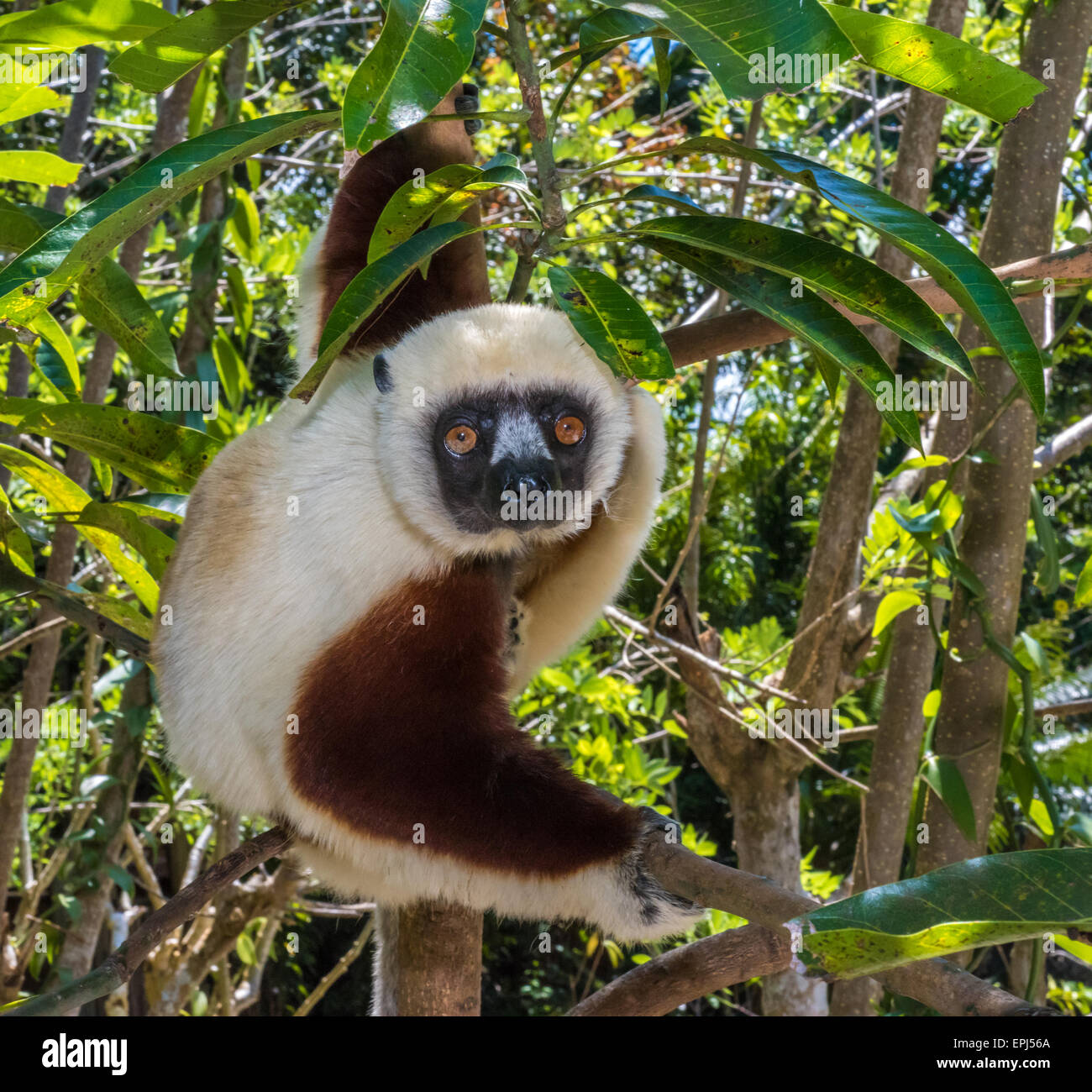 Sifaka, dancing lemur of Madagascar - Stock Image