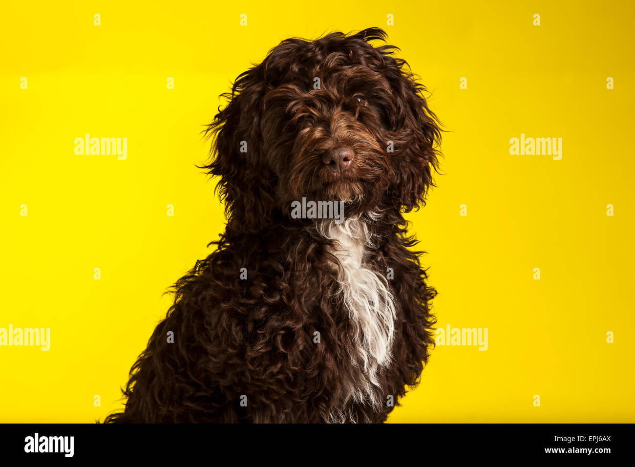 Cockerpoo cross bred dog (Spaniel cross poodle) - Stock Image