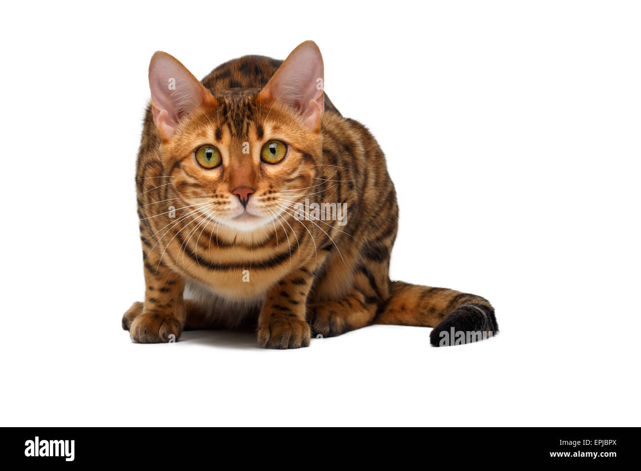 bengal cat  crouched - Stock Image