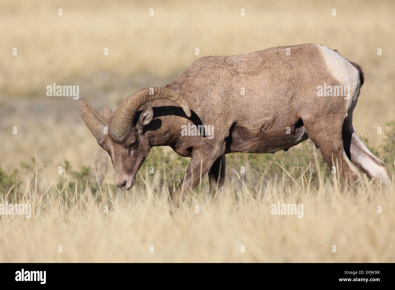 Bighorn Sheep Yellowstone NP USA - Stock Image