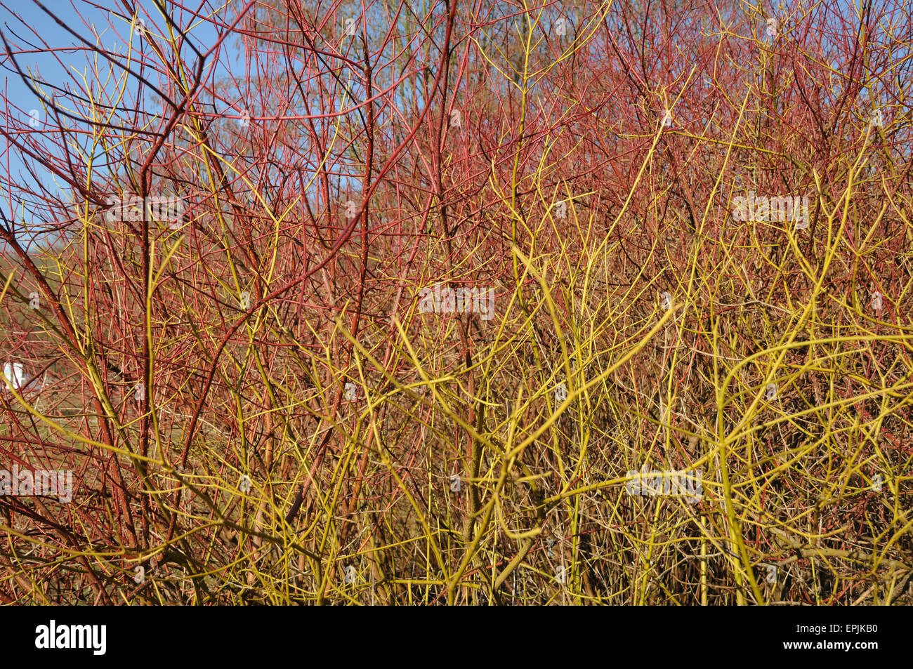 Siberian dogwood and golden twig - Stock Image