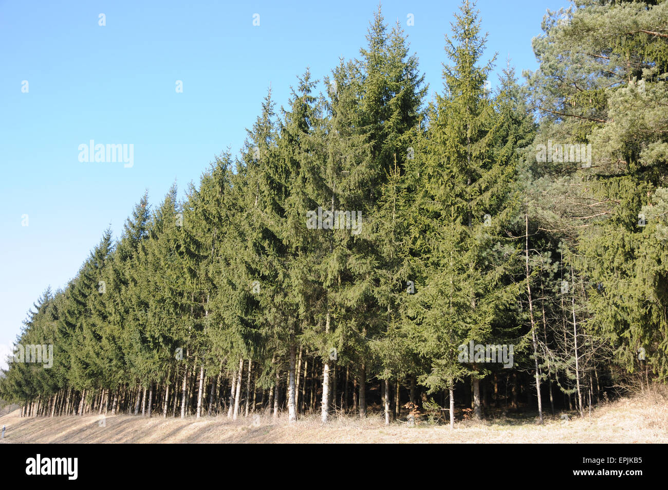 Norway spruce - Stock Image