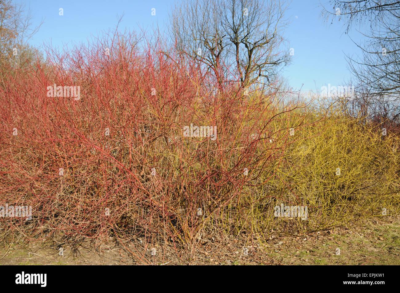 Siberian dogwood and Golden twig - Stock Image