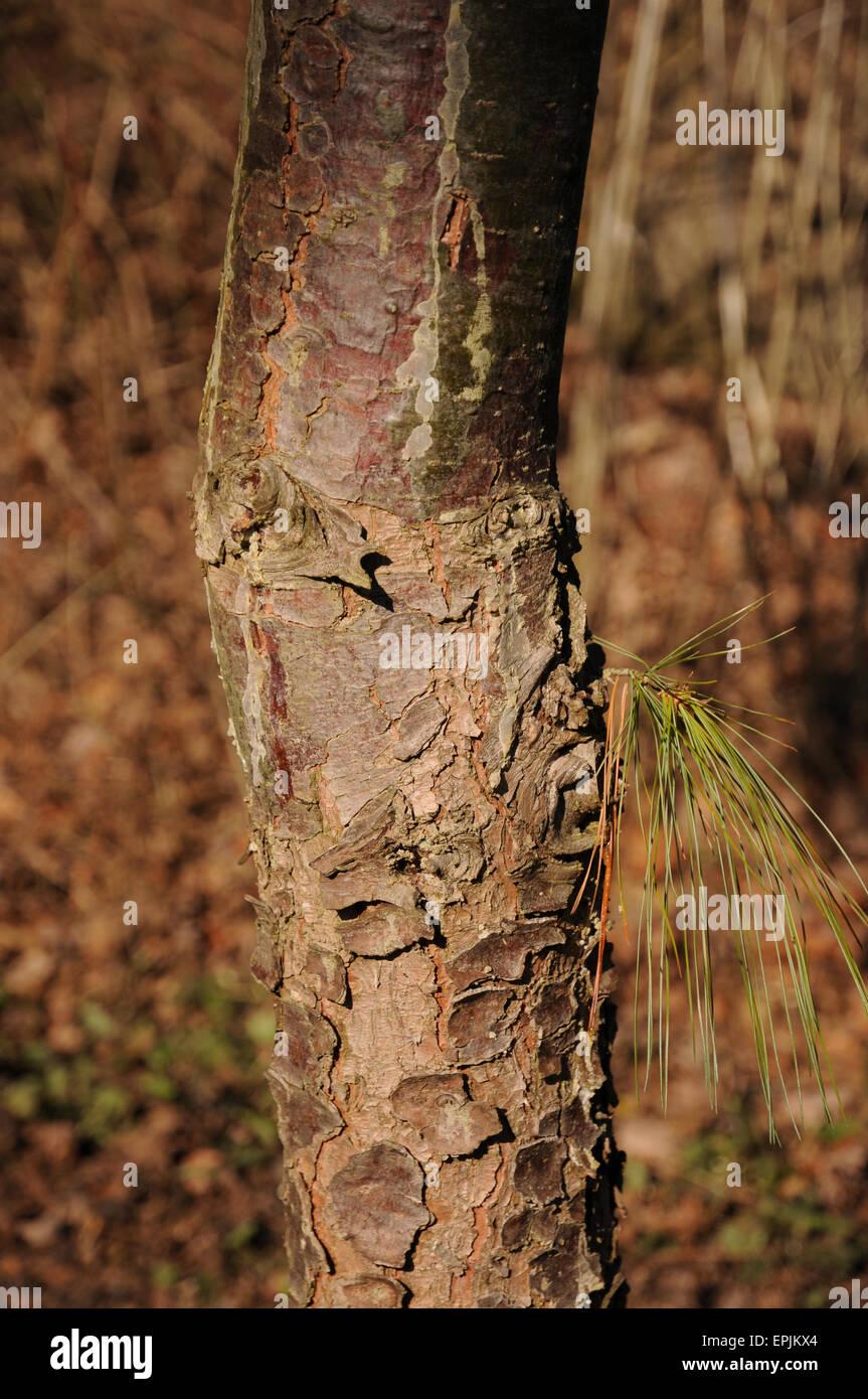 Himalayan pine - Stock Image