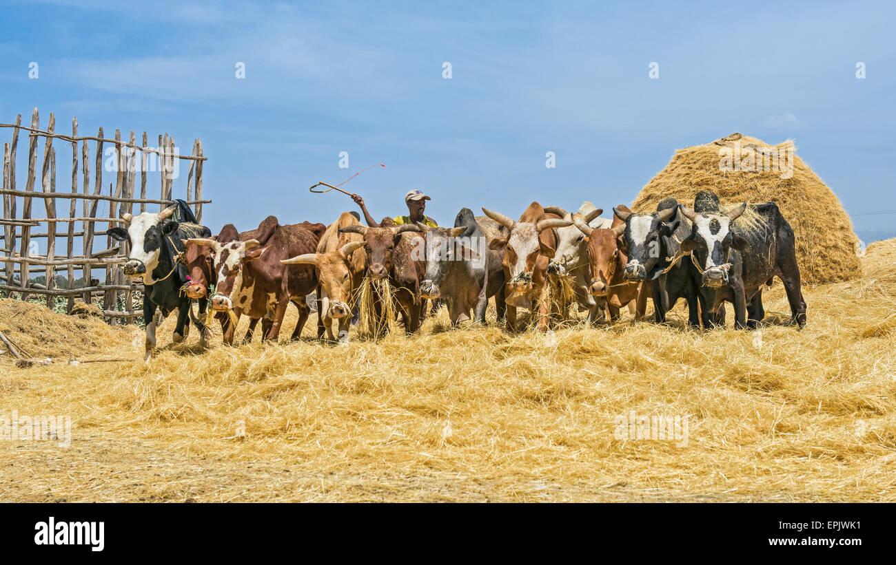 Ethiopian farmer using herd of oxen for threshing harvest. - Stock Image