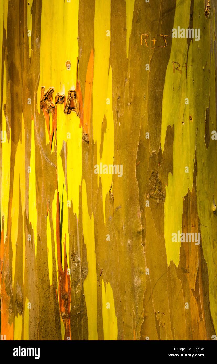 Detail of colorful bark of Rainbow Eucalyptus tree - Stock Image