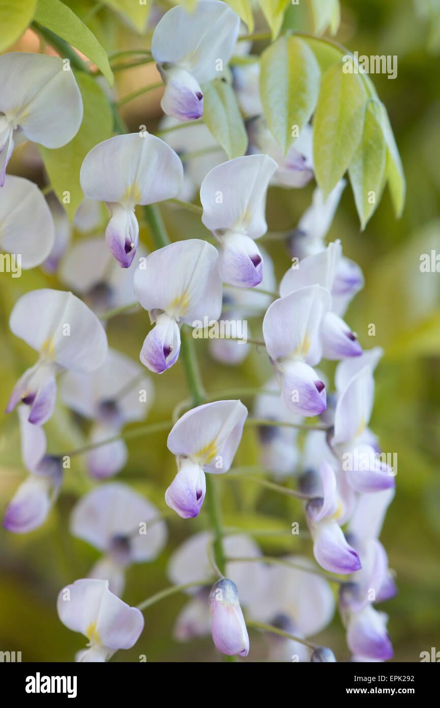 Flowering Wisteria floribunda 'kuchi beni' - Stock Image