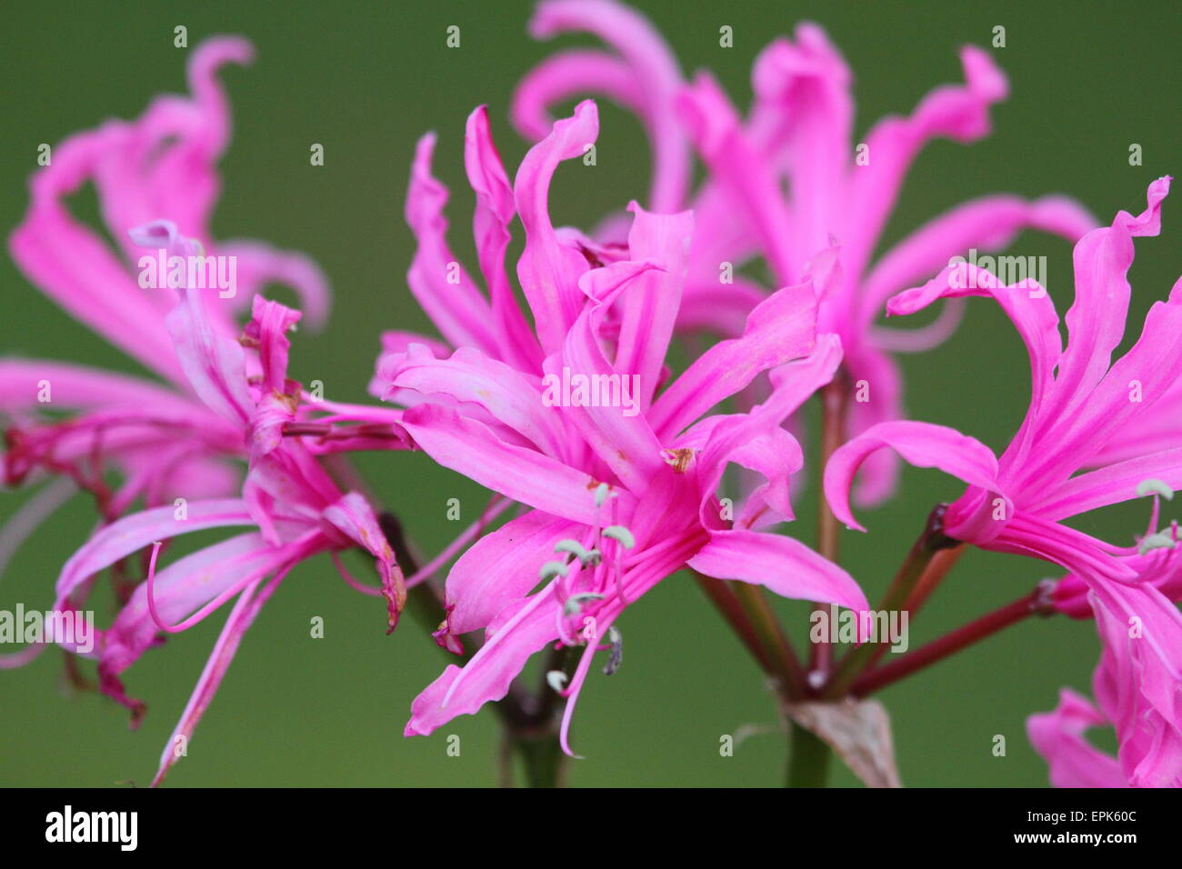 Spider lily flowers stock photos spider lily flowers stock images pink spider lily flowers dazzle up close in breenhold gardens the avenue mount wilson izmirmasajfo