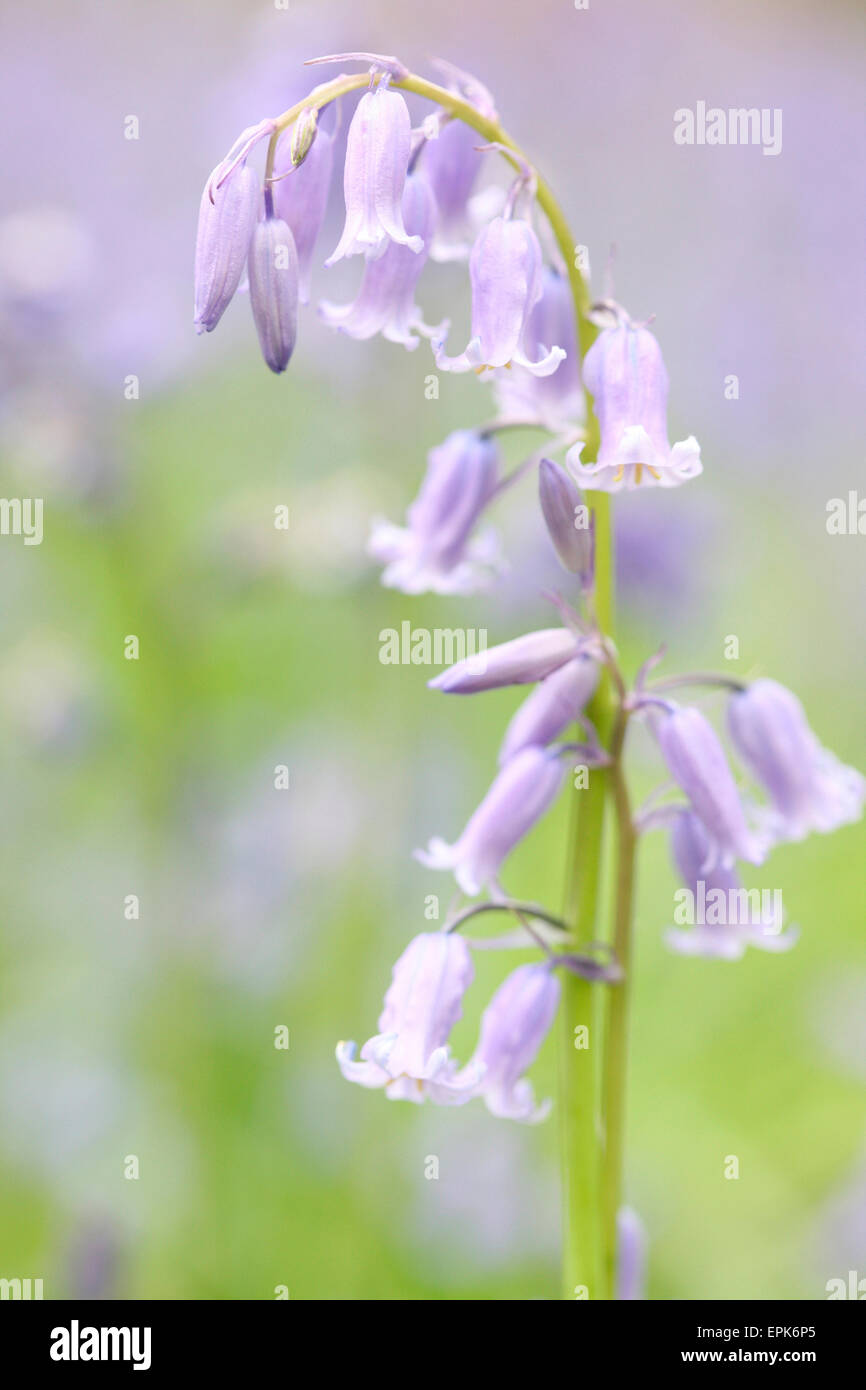 a beautiful close up of a field of bluebells Jane Ann Butler Photography JABP631 Stock Photo