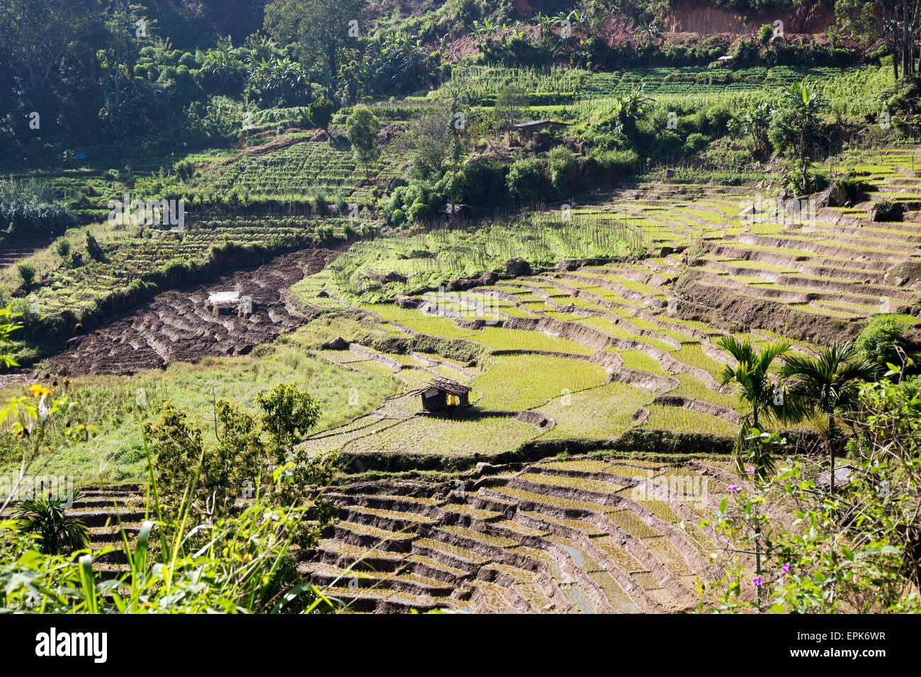 Paddy field rice farming terraces, Ella, Badulla District, Uva Province, Sri Lanka, Asia Stock Photo