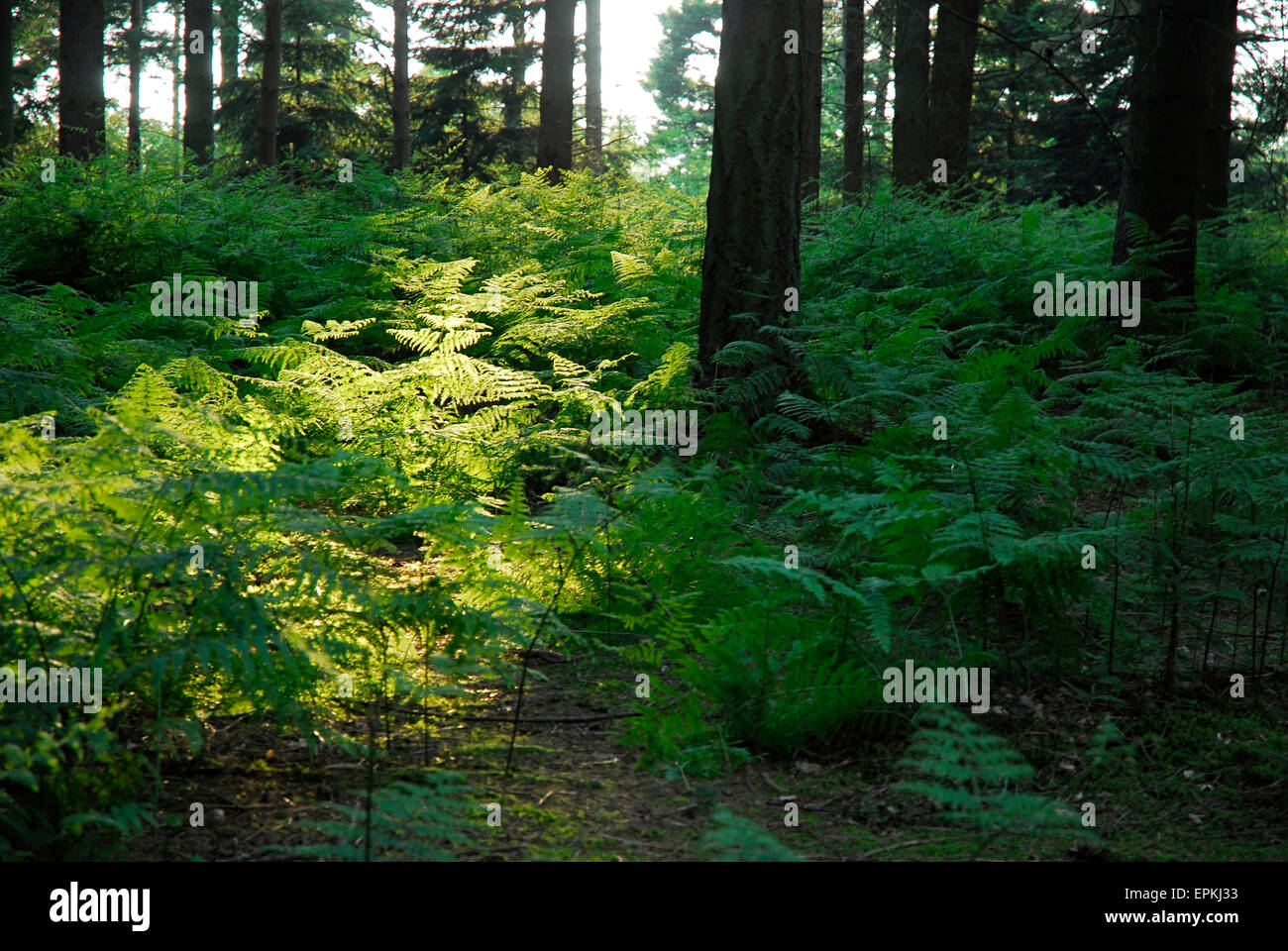 Conifer forest with fern (Osmunda regalis) in foreground England Europe - Stock Image