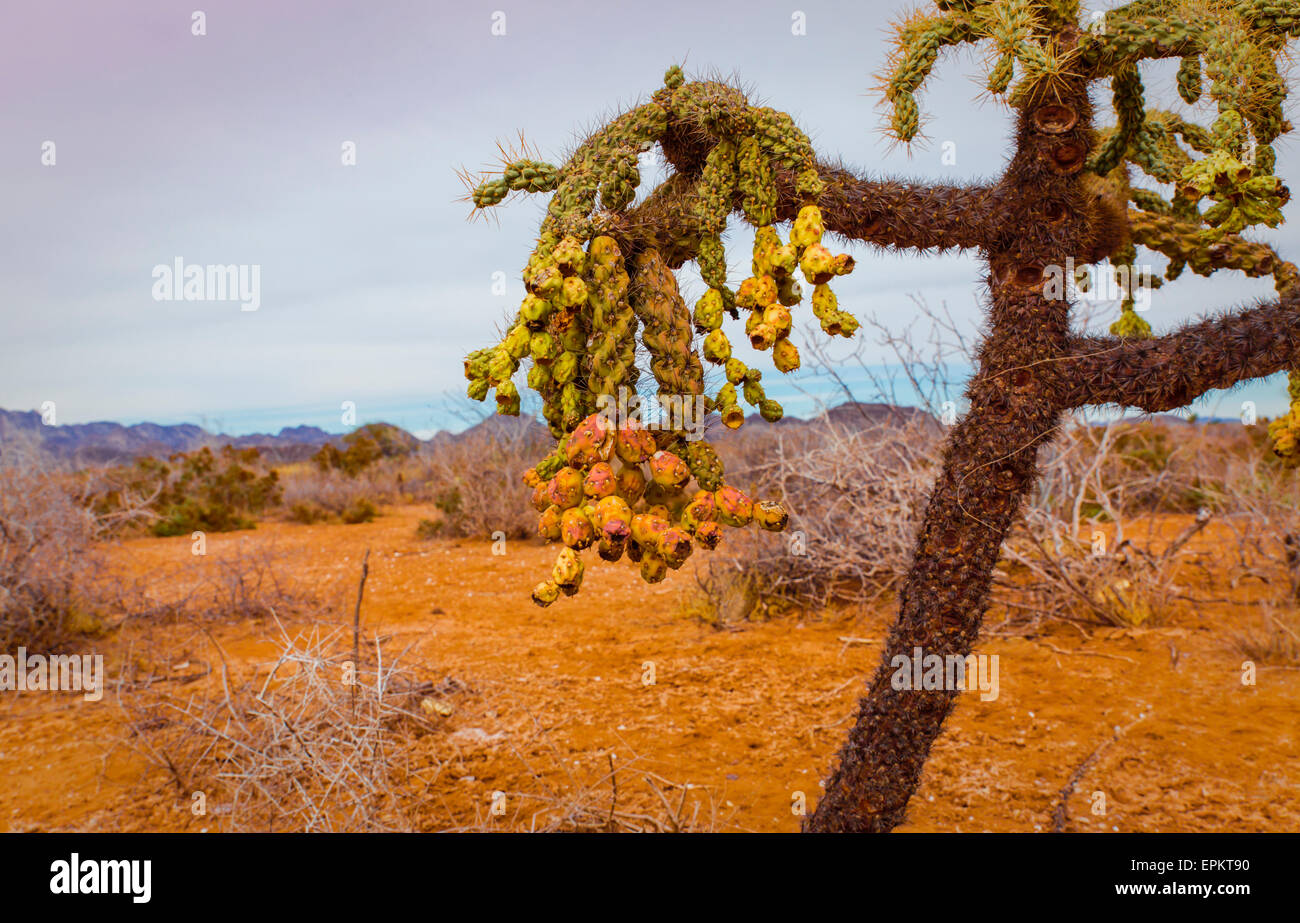 Chain fruit cholla is a type of native vegetation found in the Sonora Desert of Mexico and Arizona - Stock Image