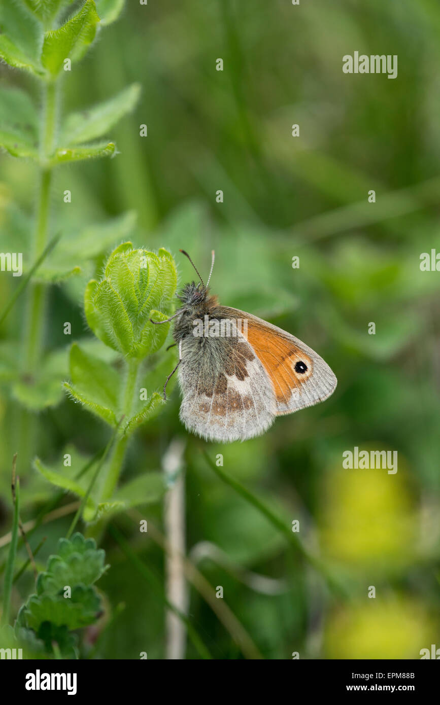 Small heath (Coenonympha pamphilus). Adult butterfly at rest - Stock Image