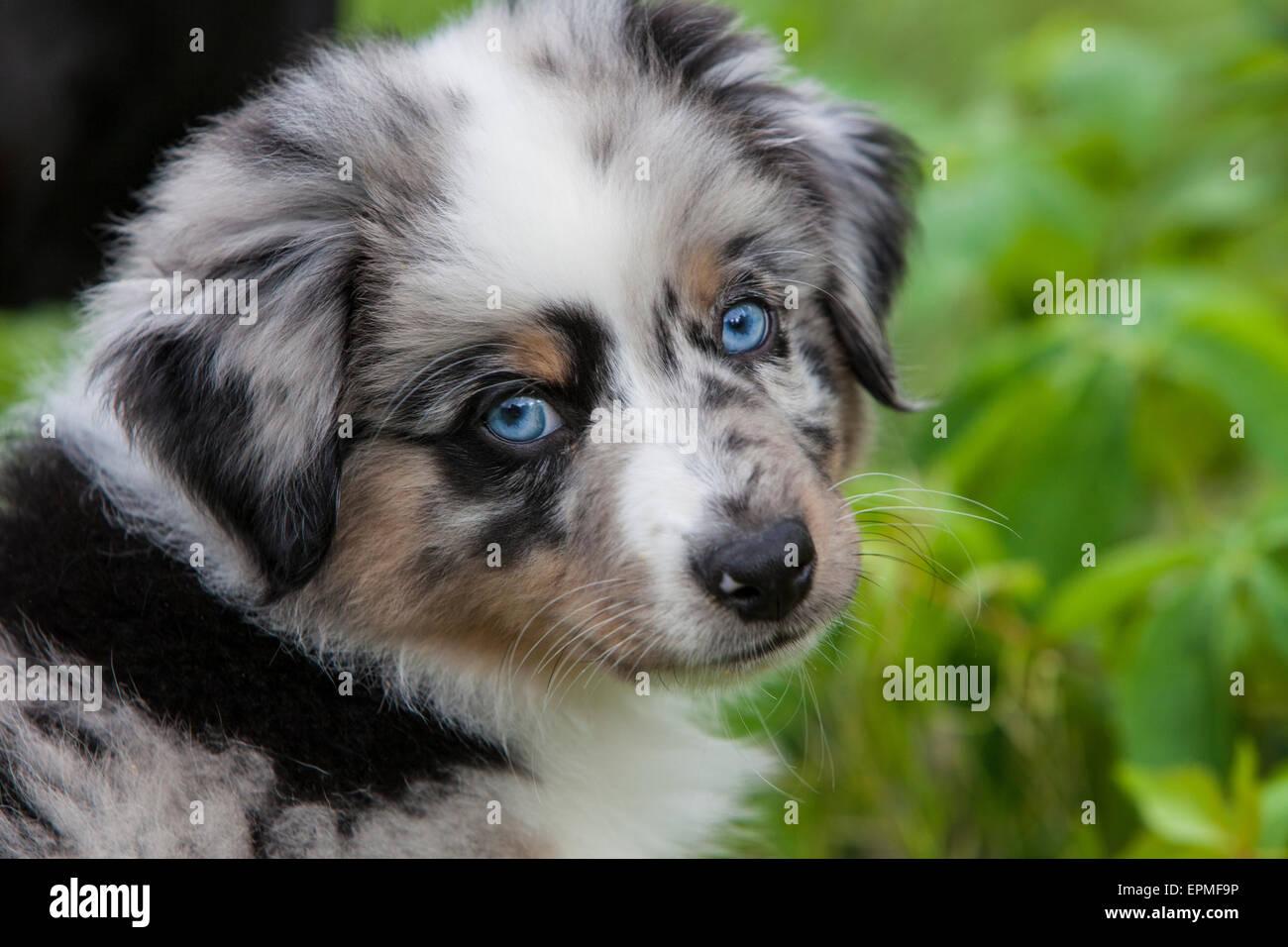 Australian Shepherd Puppies Are Agile Energetic And Mature Into Stock Photo Alamy