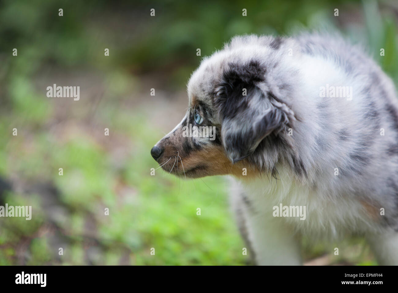 Australian Shepherd puppies are agile, energetic and mature into valued herding dogs and loyal companions who want to please. Stock Photo