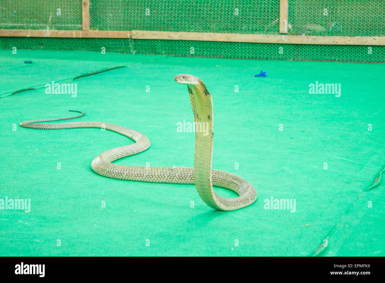 cobra snake strike illustration stock photos cobra snake strike