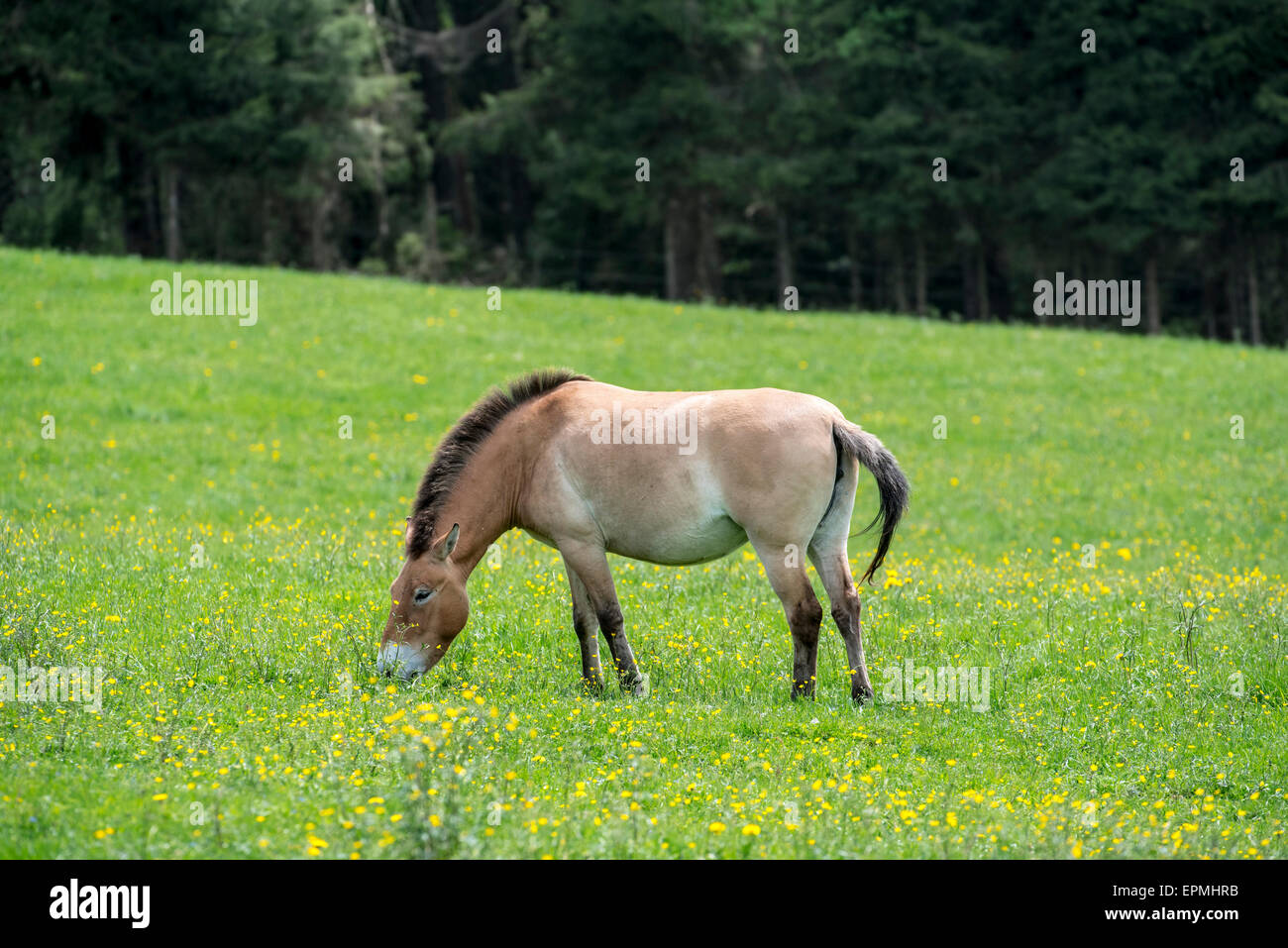 Przewalski horse (Equus ferus przewalskii) native to the steppes of Mongolia, central Asia grazing in grassland Stock Photo