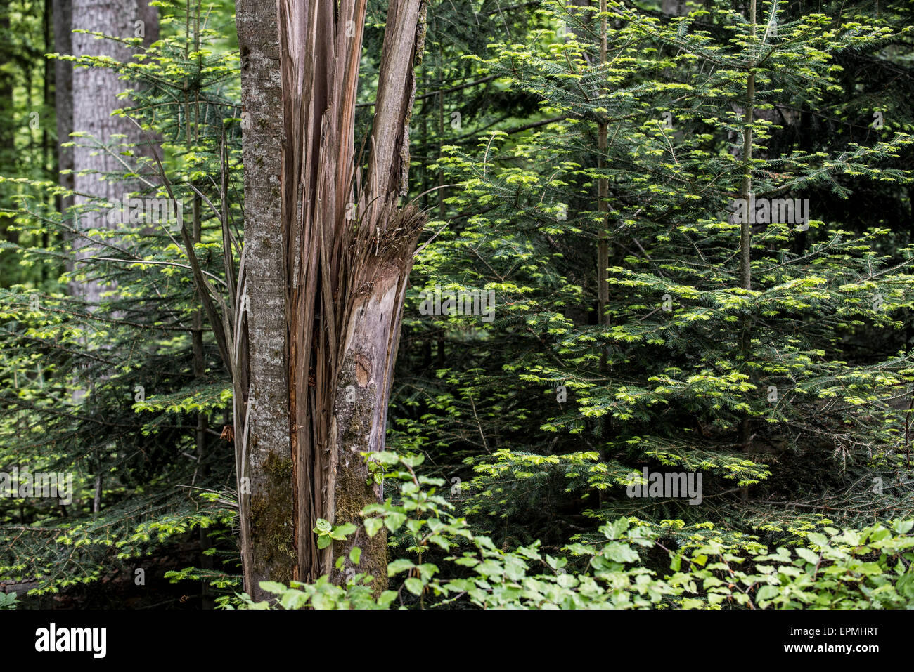Storm damage in forest showing broken tree trunk, snapped by hurricane winds and coniferous saplings - Stock Image