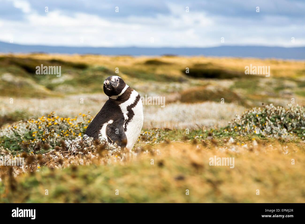 Chile, Region de Magallanes y de la Antartica Chilena, Seno Otway, Magellanic penguin - Stock Image