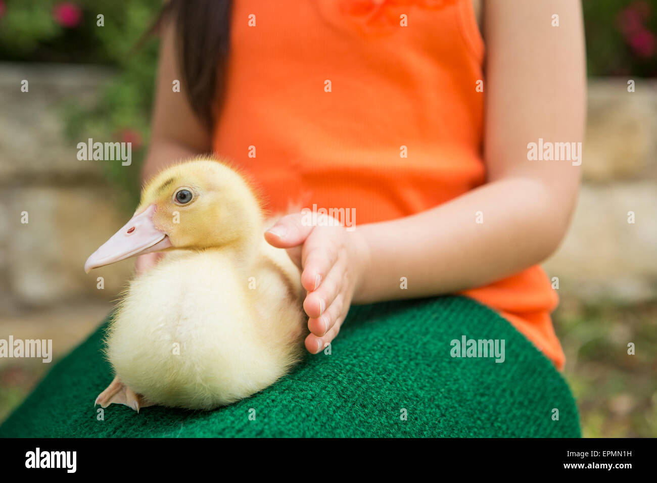 A child with a duckling on her lap. - Stock Image