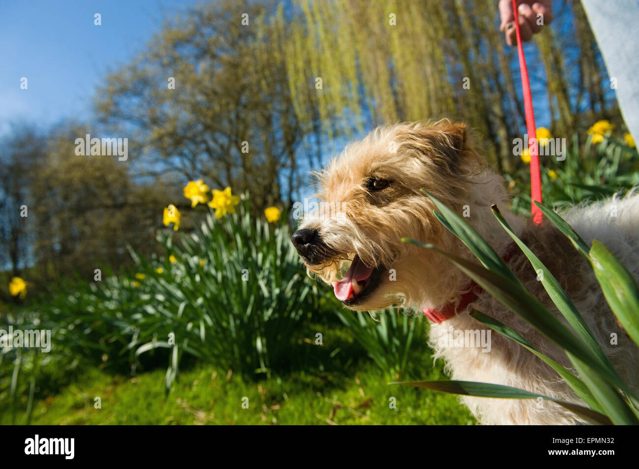 A woman and a small dog in a garden with trees in fresh leaf, and daffodils flowering. - Stock Image