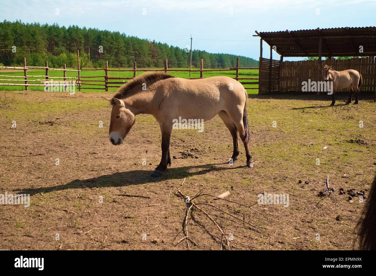 Typical horse for Chernobyl region - Stock Image