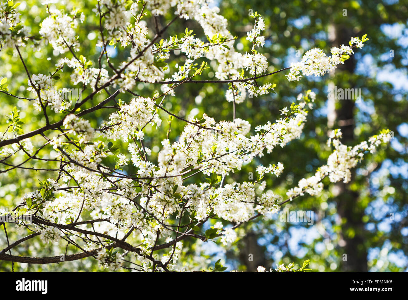 Twig With Blossoms Of Cherry Plum Stock Photos & Twig With Blossoms ...