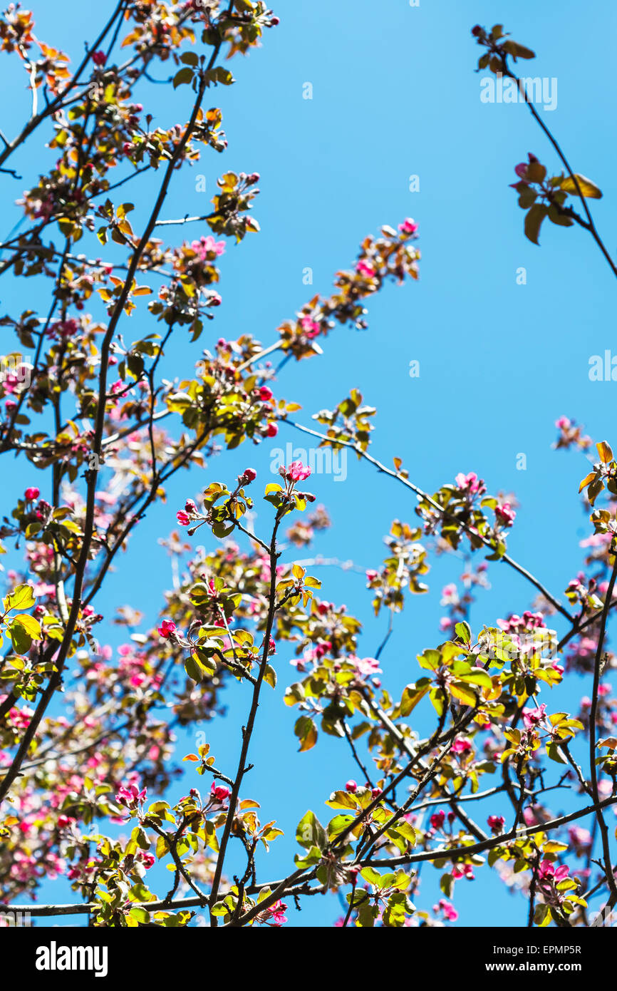 Twigs Of Pink Blossoming Apple Tree With Blue Spring Sky Background