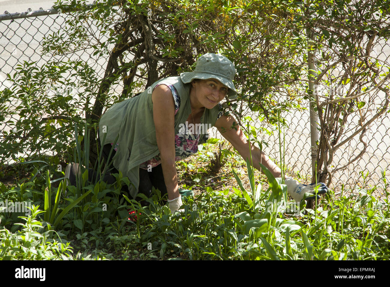 Woman pulls weeds in her front yard in the Kensington neighborhood of Brooklyn, NY. - Stock Image