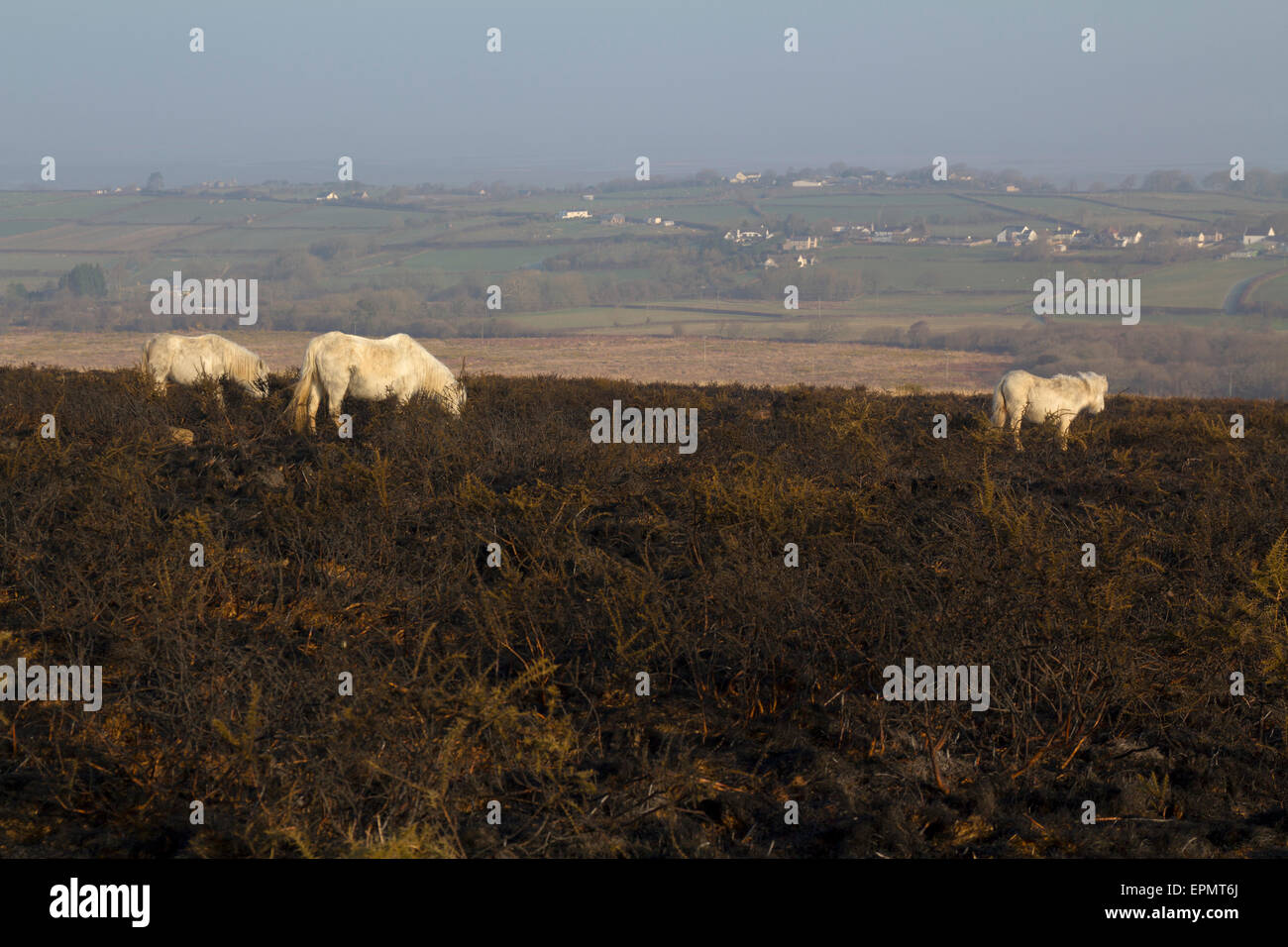 Wild ponies grazing on burned heather grassland, Rhossili Down, Gower Peninsula, Swansea, Glamorgan, Wales, United - Stock Image