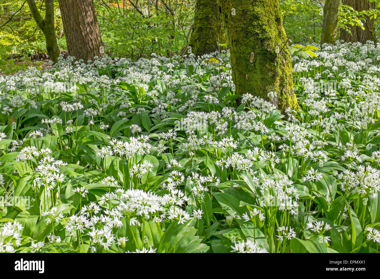 Wild Garlic plants growing in woodlands, Ayrshire, Scotland, UK. Plant is also known as ransoms, buckrams, wood - Stock Image