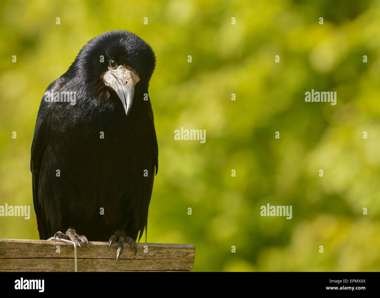Portrait of rook against green soft focus background with copyspace - Stock Image