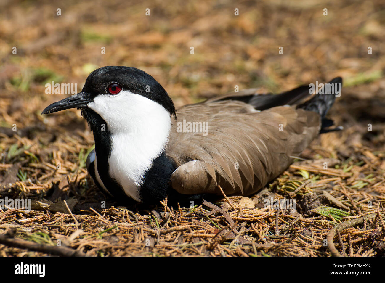 A Spur-winged lapwing relaxing in the underbrush. - Stock Image